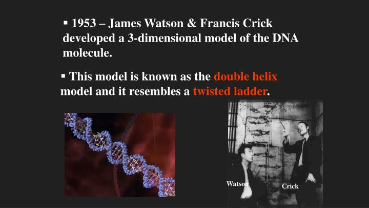 1953 – James Watson & Francis Crick developed a 3-dimensional model of the DNA molecule.
