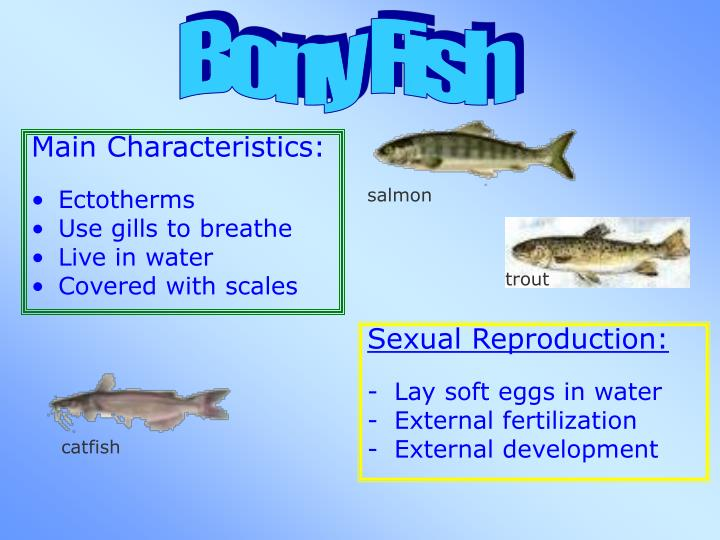 Ppt unit 8 powerpoint presentation id 5501584 for Bony fish characteristics
