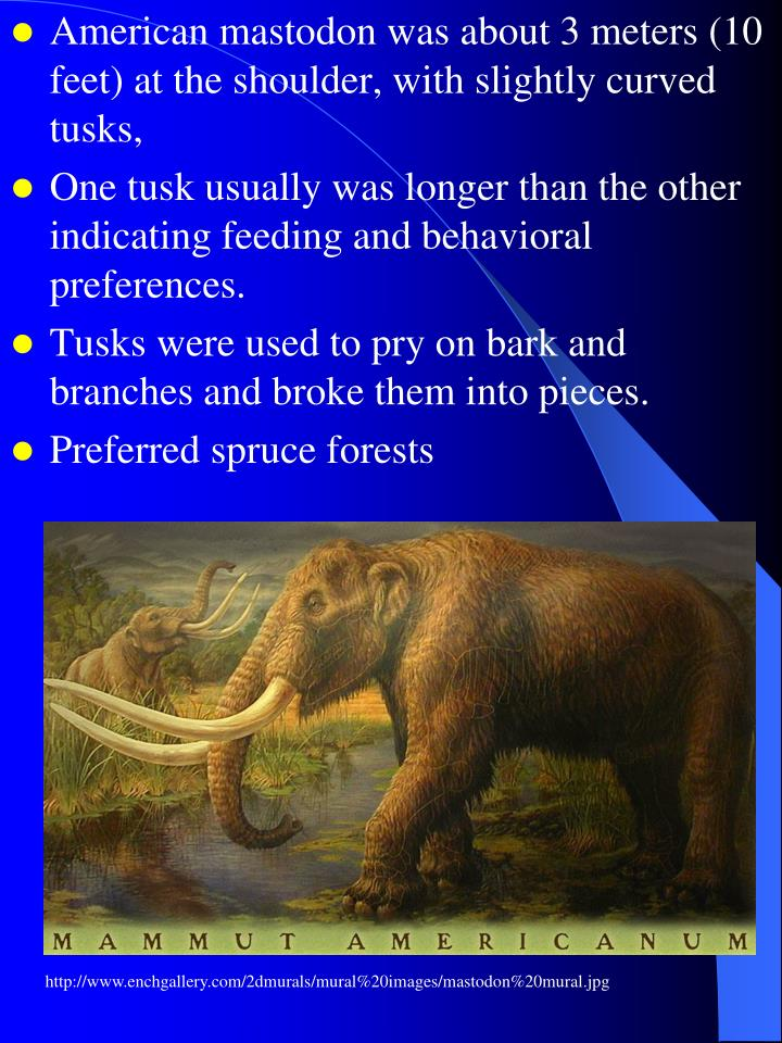 American mastodon was about 3 meters (10 feet) at the shoulder, with slightly curved tusks,