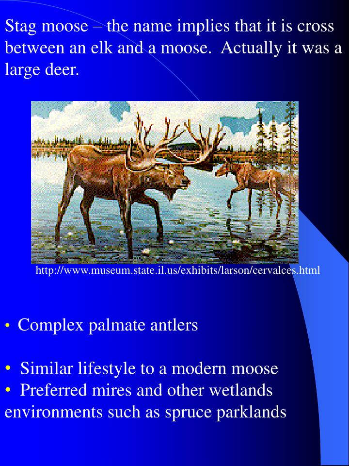 Stag moose – the name implies that it is cross between an elk and a moose.  Actually it was a large deer.