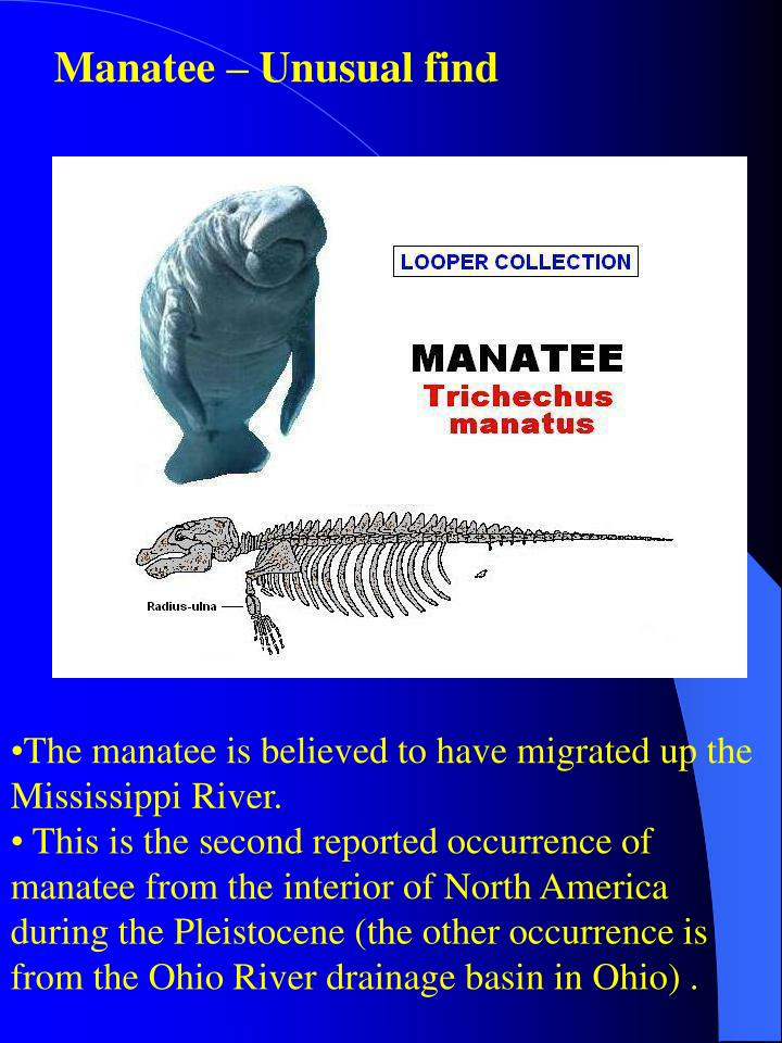Manatee – Unusual find
