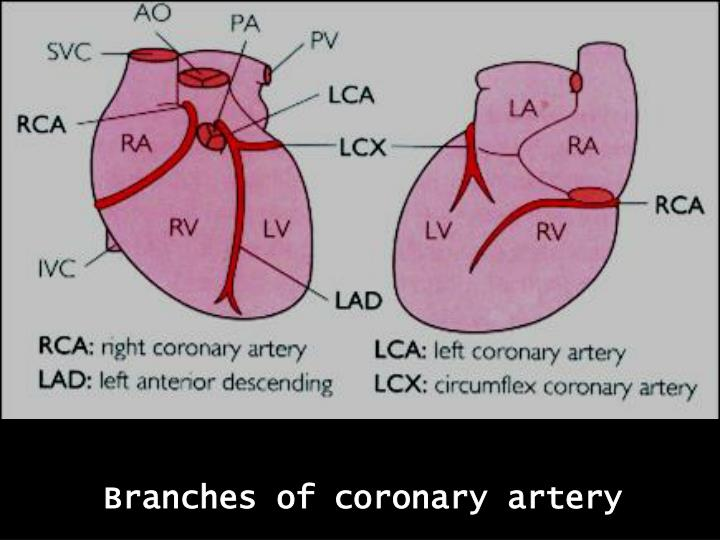Branches of coronary artery