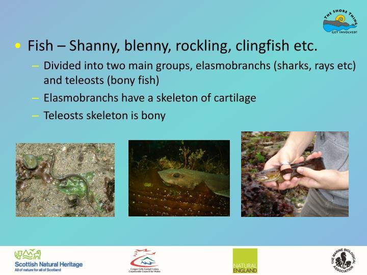 Fish – Shanny, blenny, rockling, clingfish etc.