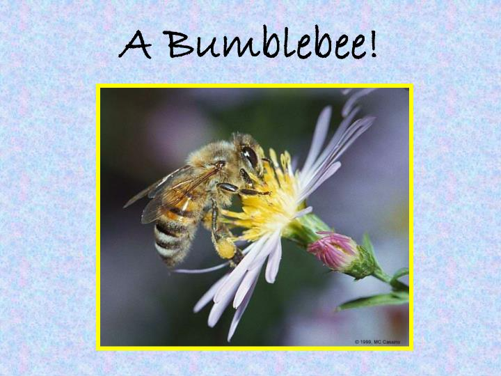 A Bumblebee!