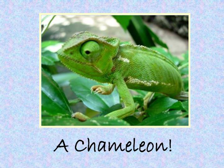 A Chameleon!