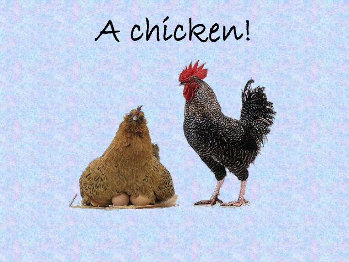 A chicken!