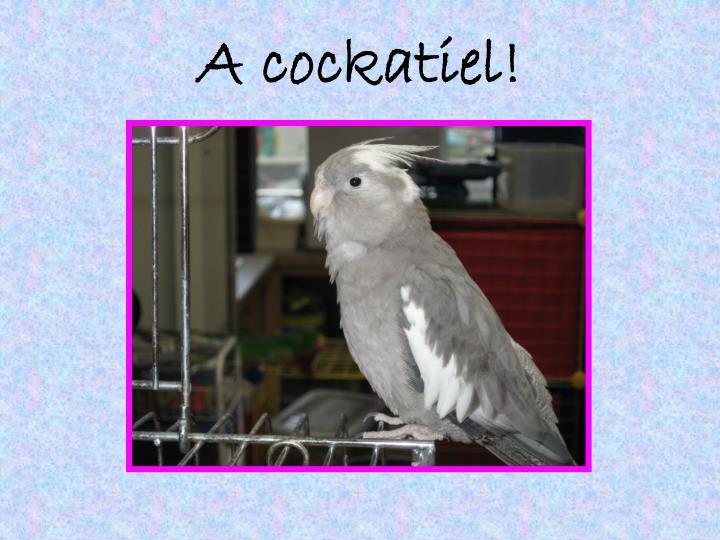 A cockatiel!