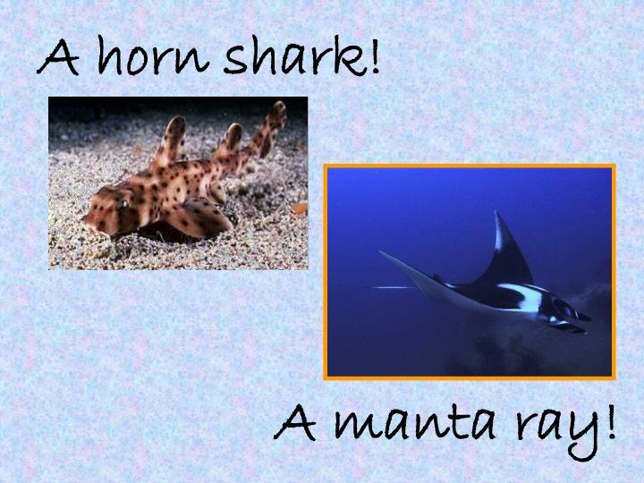 A horn shark!
