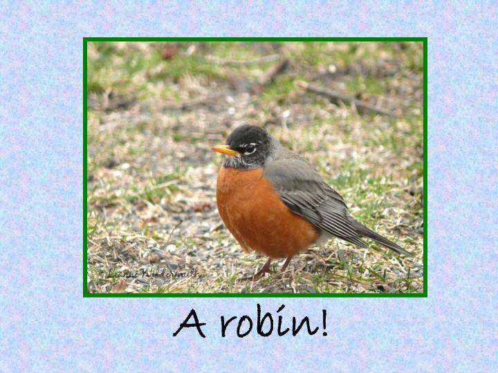 A robin!