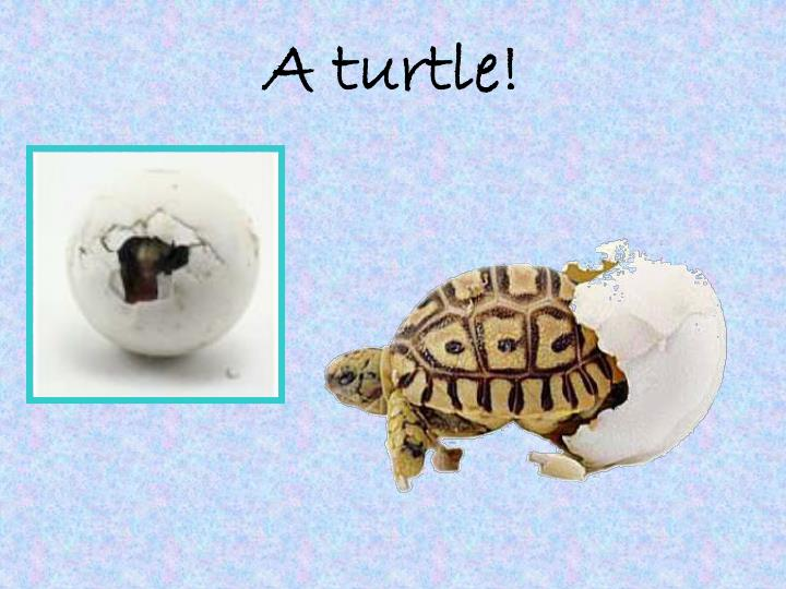 A turtle!