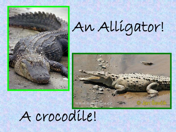 An Alligator!