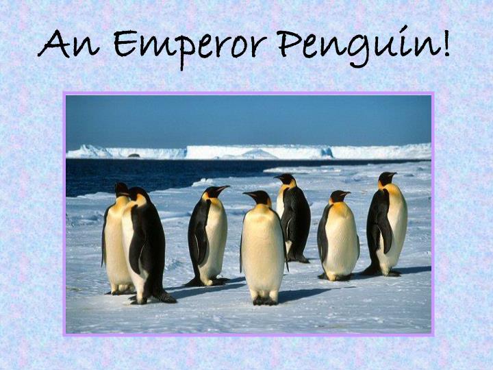An Emperor Penguin!