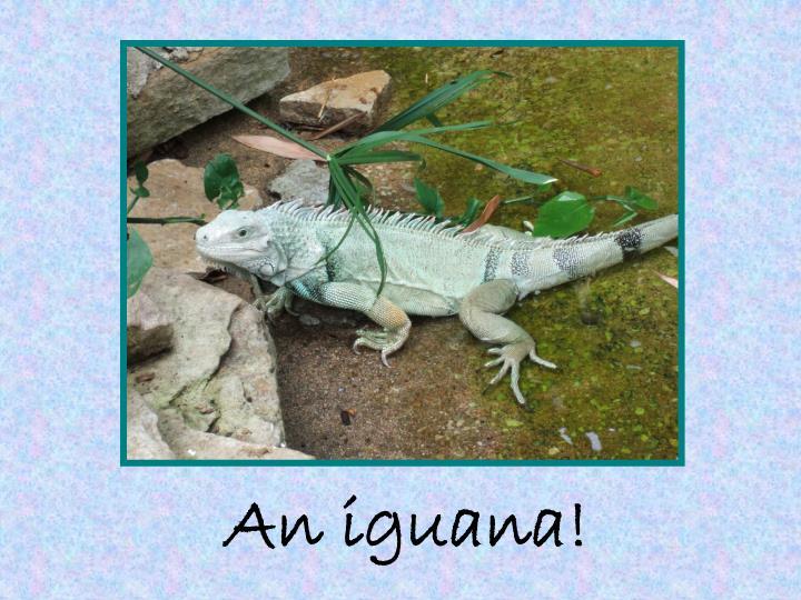 An iguana!