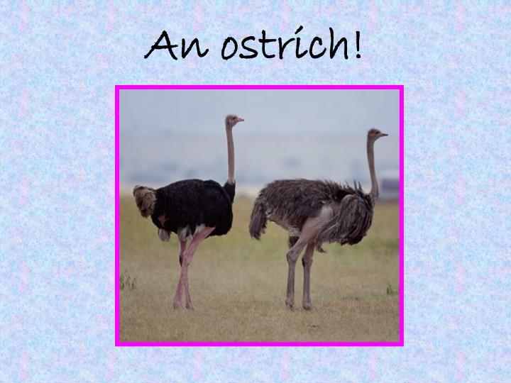 An ostrich!