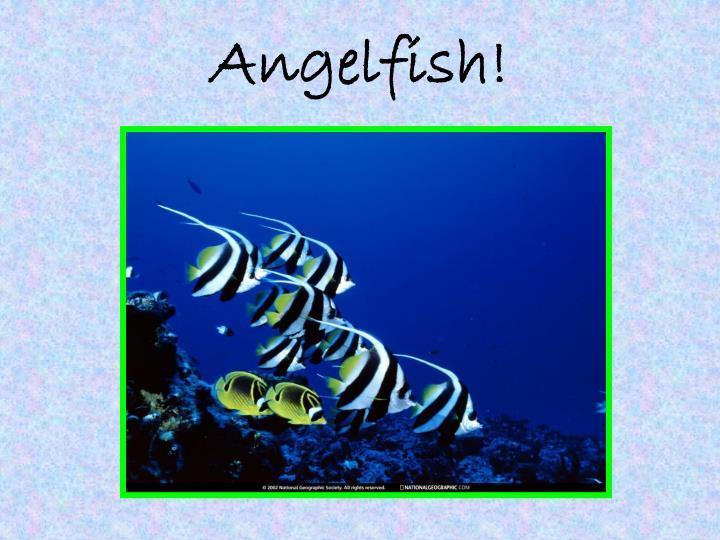 Angelfish!