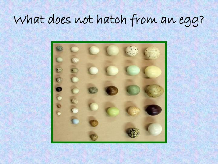 What does not hatch from an egg?