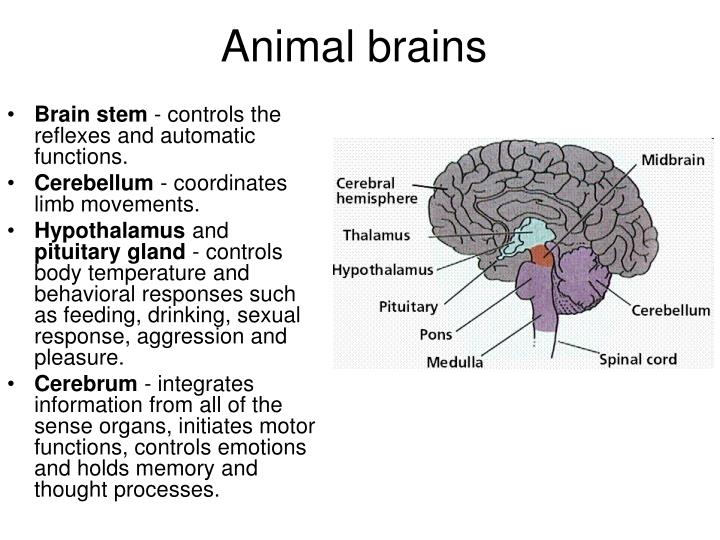 Animal brains
