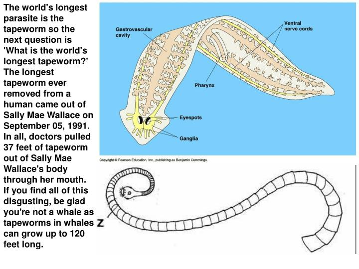 The world's longest parasite is the tapeworm so the next question is 'What is the world's longest tapeworm?'