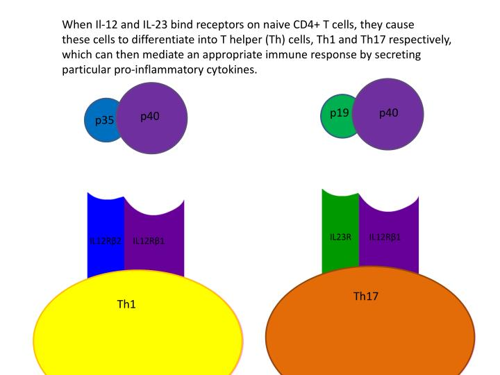 When Il-12 and IL-23 bind receptors on naive CD4+ T cells, they cause
