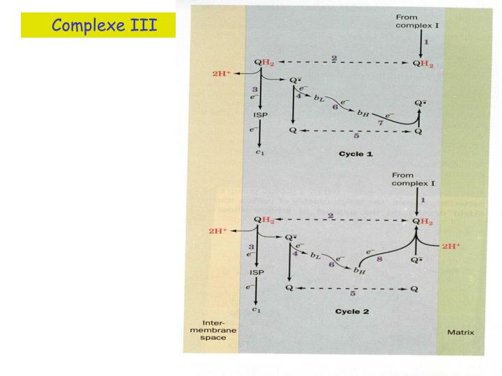Complexe III