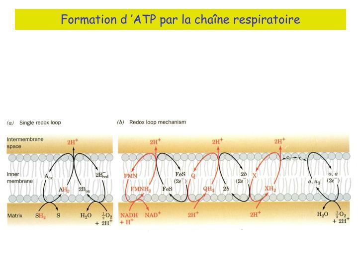 Formation d'ATP par la chaîne respiratoire