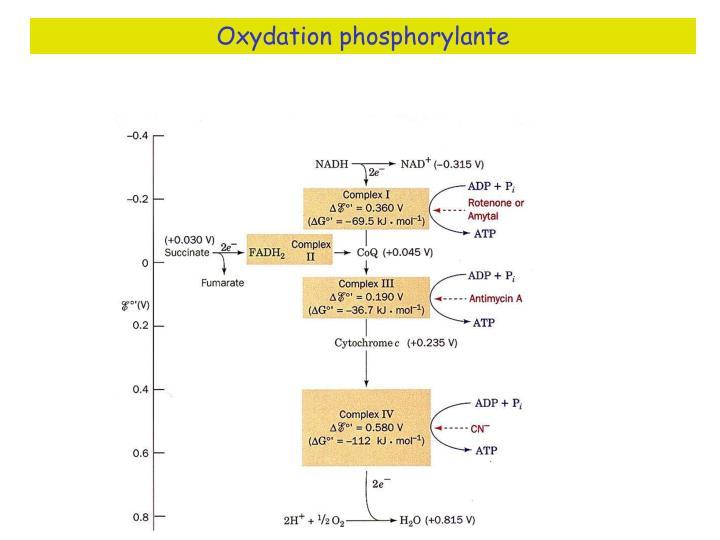 Oxydation phosphorylante