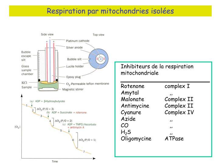 Respiration par mitochondries isolées