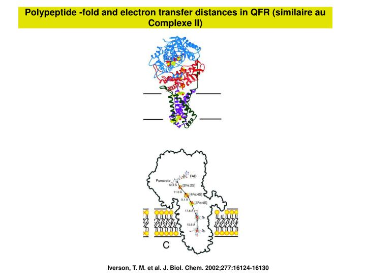 Polypeptide -fold and electron transfer distances in QFR (similaire au Complexe II)