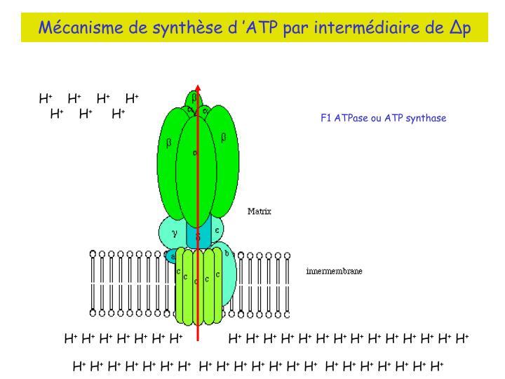 Mécanisme de synthèse d'ATP par intermédiaire de ∆p