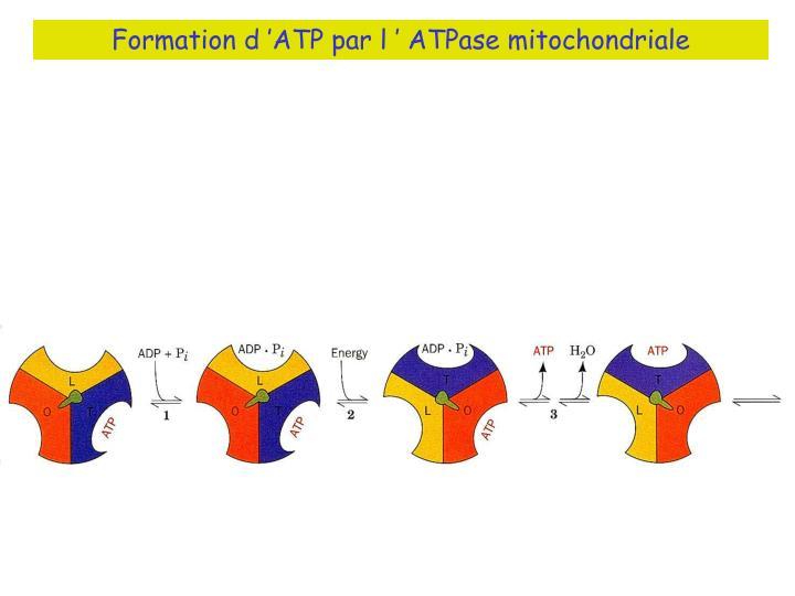 Formation d'ATP par l' ATPase mitochondriale