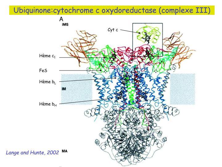 Ubiquinone:cytochrome c oxydoreductase (complexe III)