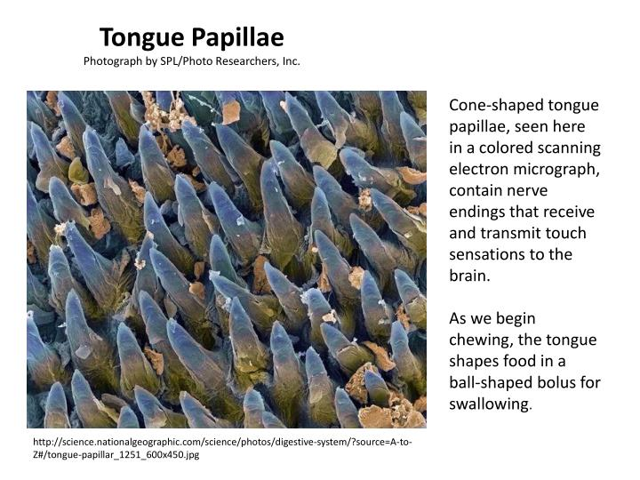 Tongue Papillae