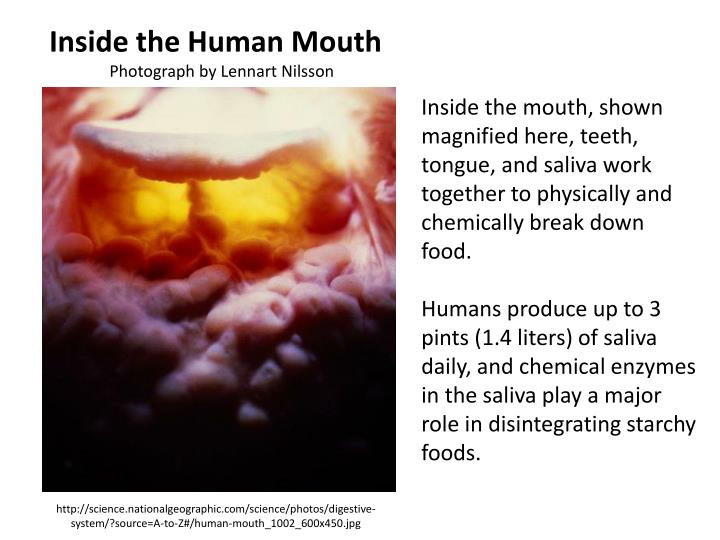 Inside the Human Mouth