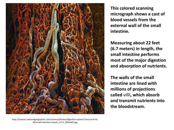 This colored scanning micrograph shows a cast of blood vessels from the external wall of the small intestine.