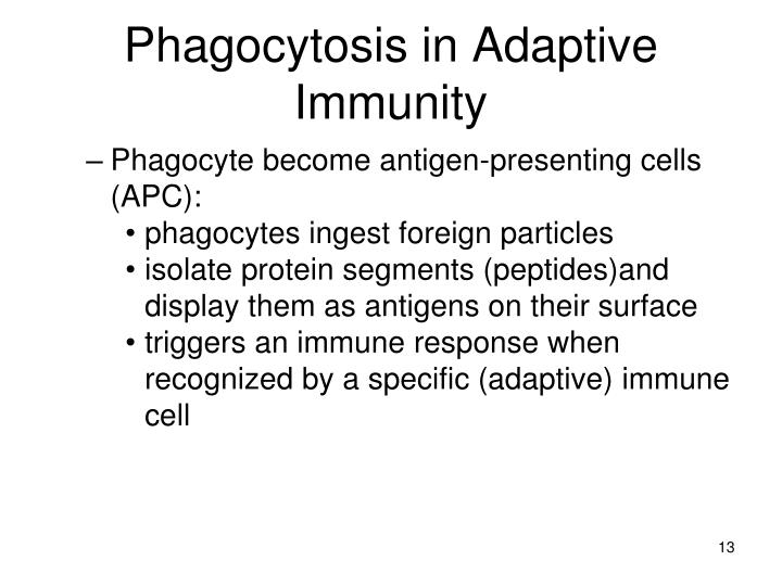 Phagocytosis in Adaptive Immunity