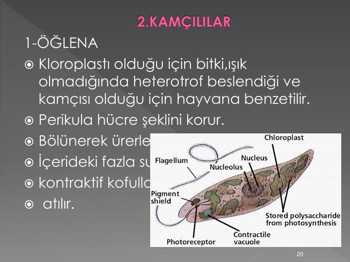 2.KAMÇILILAR