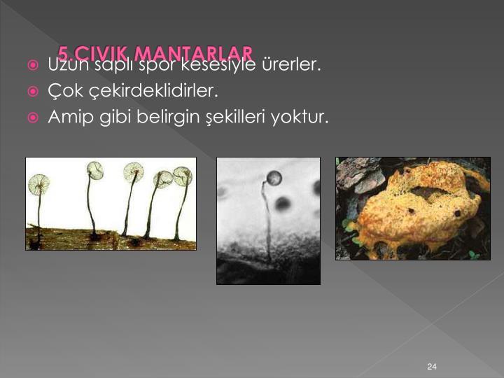 5.CIVIK MANTARLAR