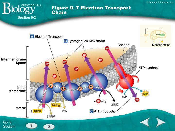 Figure 9–7 Electron Transport Chain