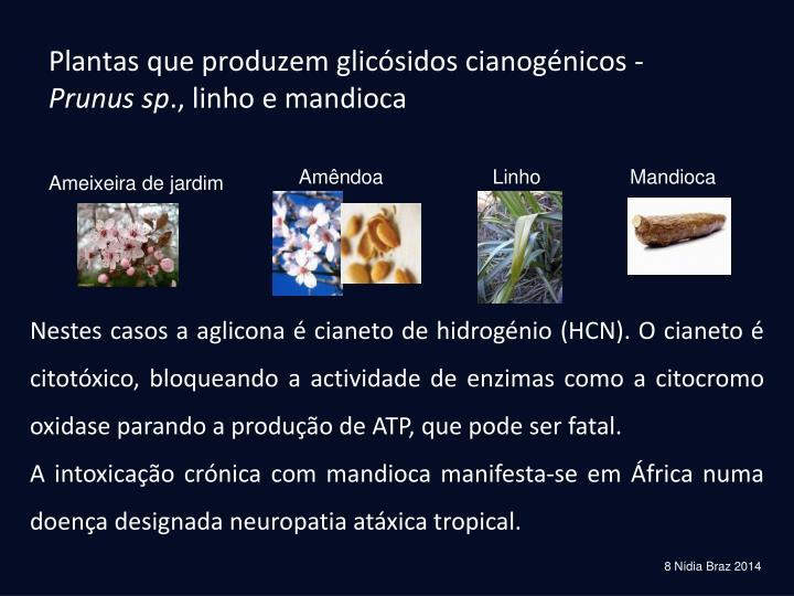 Plantas que produzem glicósidos cianogénicos -