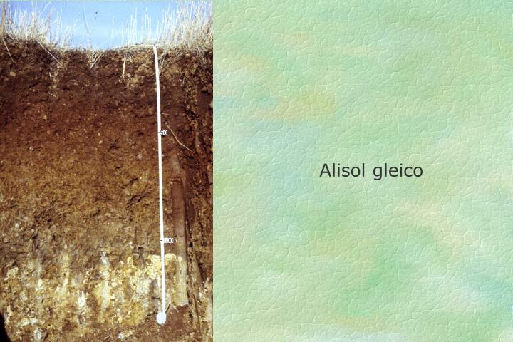 Alisol gleico