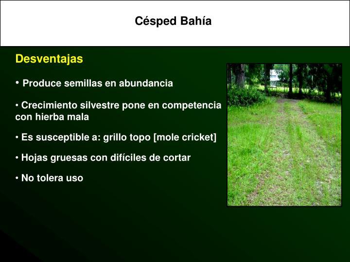 Césped Bahía