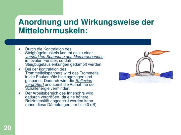 Anordnung und Wirkungsweise der Mittelohrmuskeln: