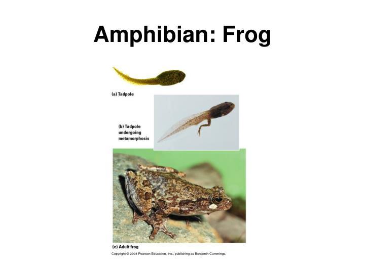 Amphibian: Frog