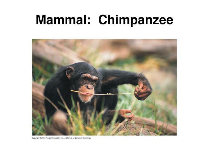 Mammal:  Chimpanzee