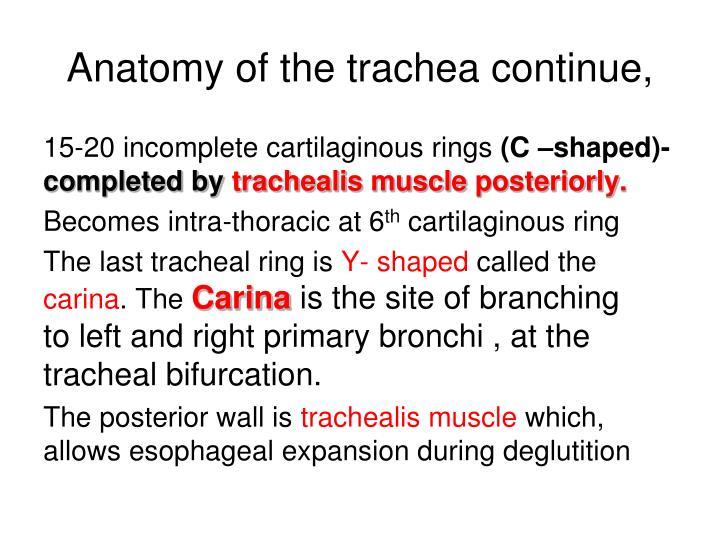 Anatomy of the trachea continue,