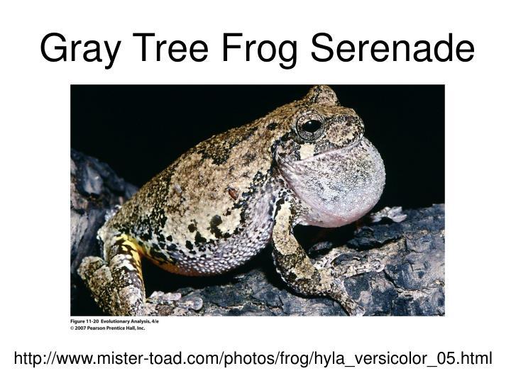 Gray Tree Frog Serenade