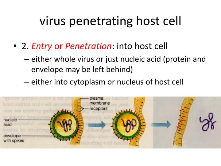 virus penetrating host cell