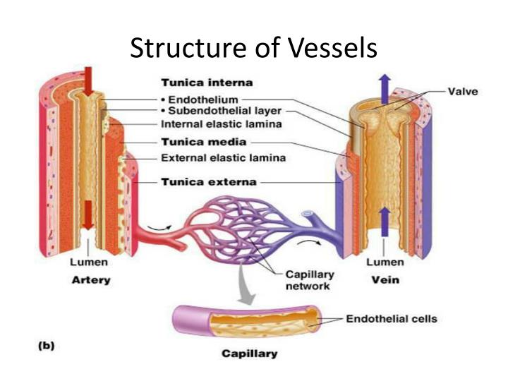 Structure of Vessels