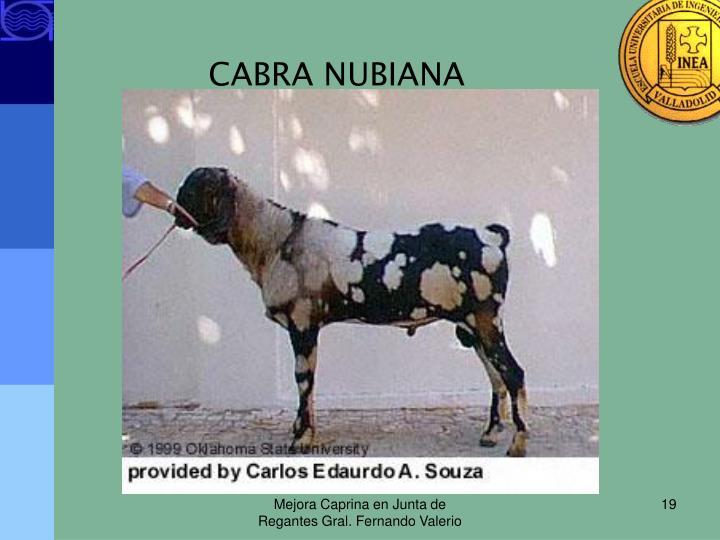 CABRA NUBIANA