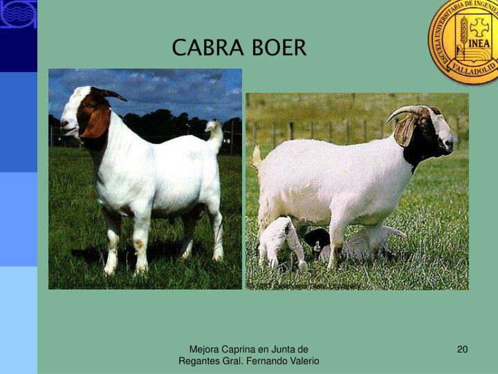 CABRA BOER